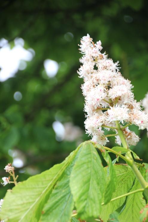 Horse-chestnut (Aesculus hippocastanum )