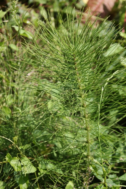 Horsetails (Equisetum arvense )