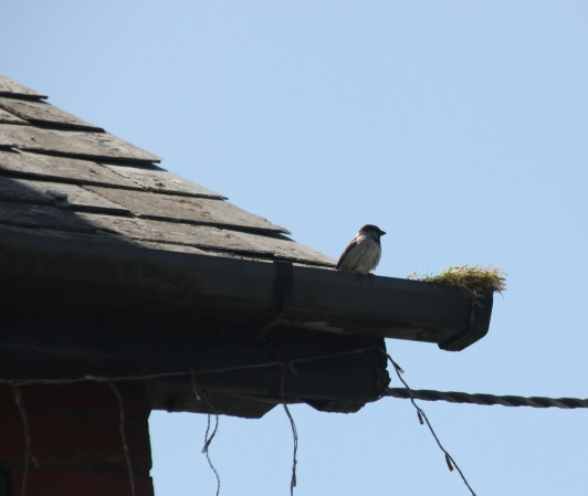 House Sparrows,with nest