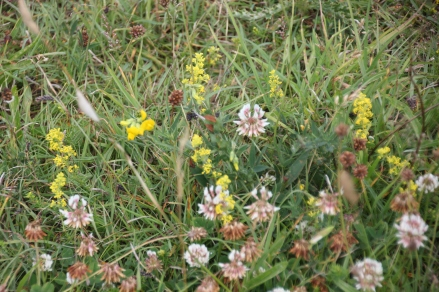 Ladies Bedstraws, White Clover and Bird's-foot Trefoil