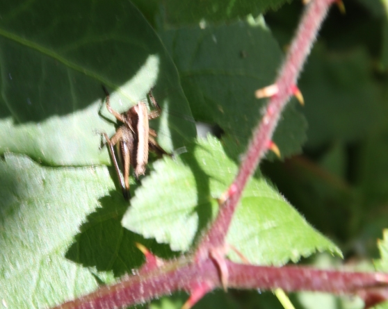Leafhoppers ( Cicadellidae)