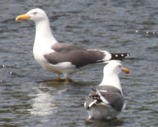 Lesser Black- backed gull (Larus fuscus)
