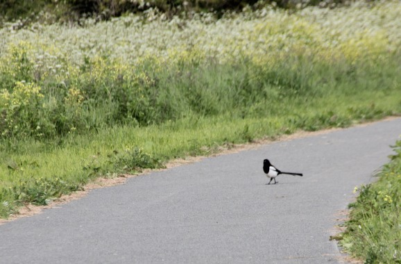 Cheeky Magpie (Pica pica)