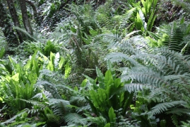 Masses of ferns