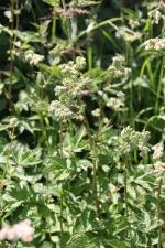 Meadowsweet (Filipendula ulmaria) just coming into flower