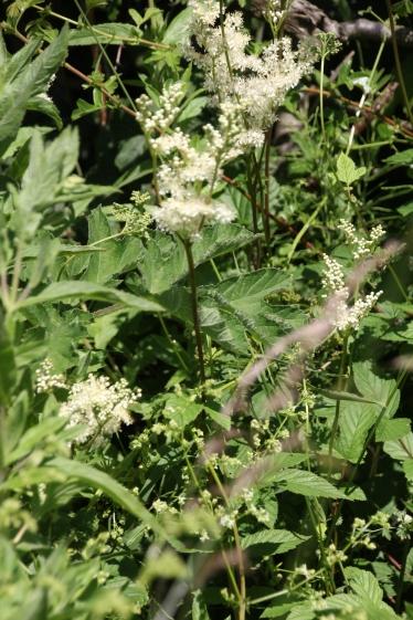 Meadowsweet (Filipendula ulmaria)