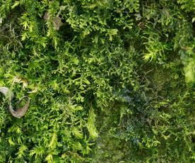 Creeping Fingerwort (Lepidozia reptans)