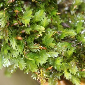 Common Pocket-moss (Fissidens taxifolius)