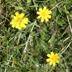 Mouse-ear Hawkweed (Pilosella officinarum)
