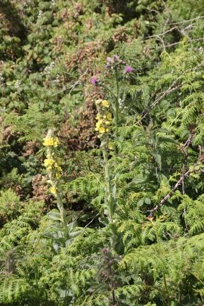Mullein (Verbascum thapus)