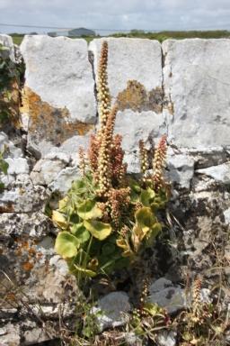 Navelwort (Umbilicus rupestris )