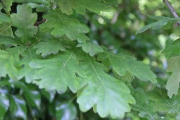Oak (Quercus robur )