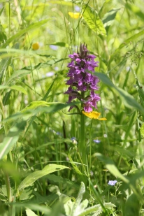 Hybrid Orchid (Dacylorhiza fuchsia x praetermissa)
