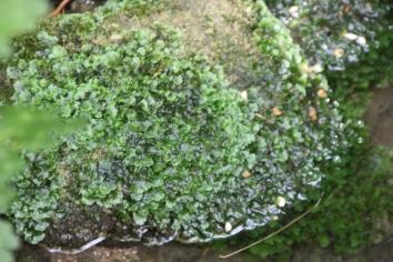 Overleaf Pellia (Pellia epiphylla )a liverwort
