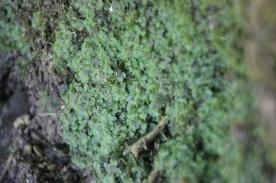 Overleaf Pellia (Pellia epiphylla)
