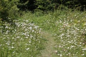 oxeye daisy path
