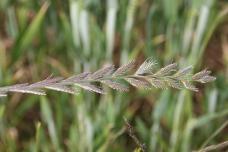 Perennial Rye-grass (Lolium perenne)