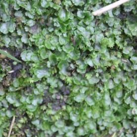 Pocket Moss & Overleaf Pellia