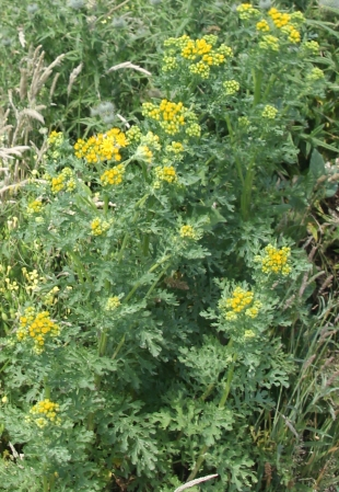 Common Ragwort (Senecio jacobaea)