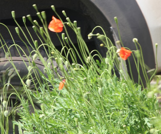 Red Poppies (Papaver rhoeas )