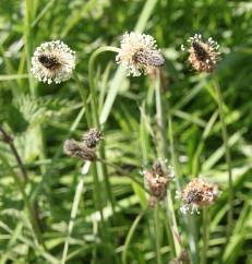 Ribwort Plantain (Plantago lanceolata)