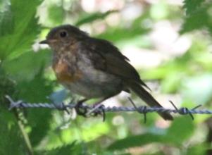 Robin (Erithacus rubecula