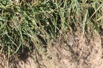 Saltmarsh-grass (Puccinellia maritima )