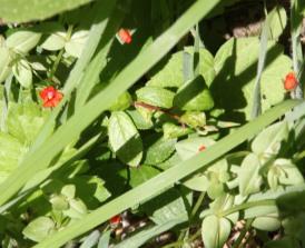 Scarlet Pimpernel ( Anagallis arvensis)
