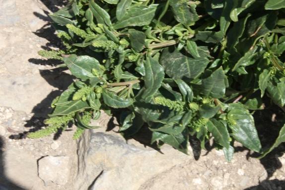 Sea Beet (Beta vulgaris)