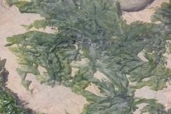 Sea-lettuce (Ulva lactuca)
