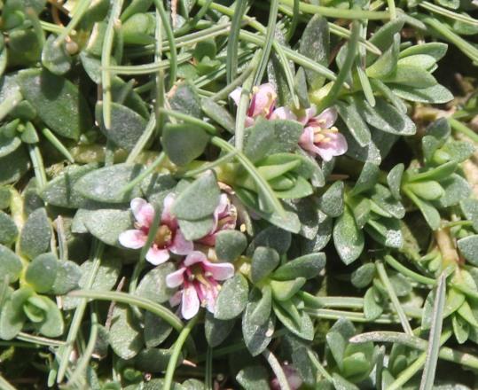 Sea Milkwort (Glaux maritima )