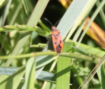 Seed bug (Lygaeidae )
