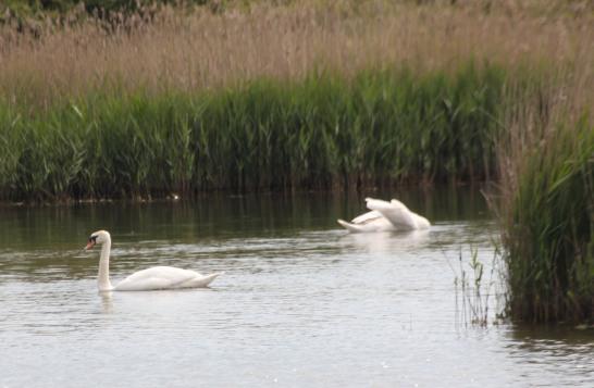 Serene swans