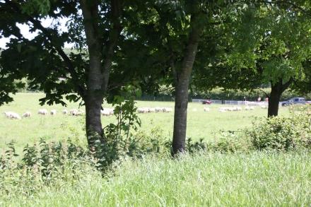 Sheep lines