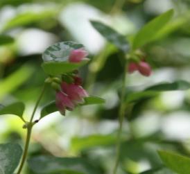 Snowberry bushes (Symphoricarpus albus)