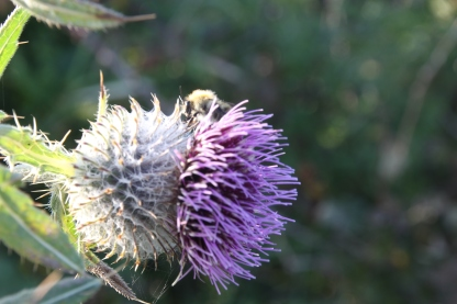 Spear Thistle (Cirsium palustre)
