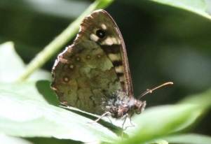 Speckled Wood (Pararge aegeria