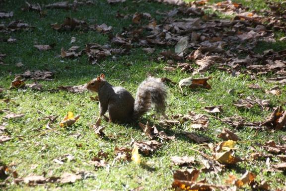 Squirrel (Sciurus carolinensis)