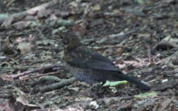 Starling (Sturnus vulgaris)