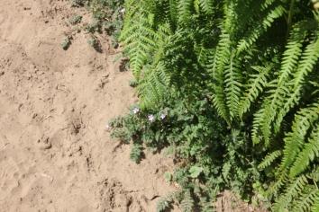 Ferns - male fern and polypody fern (Polypodium vulgare)