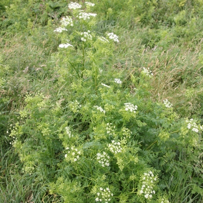 Sweet Cecily flowers (Myrrhis odorata )
