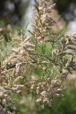 Tamarisk(Tamarix gallica)