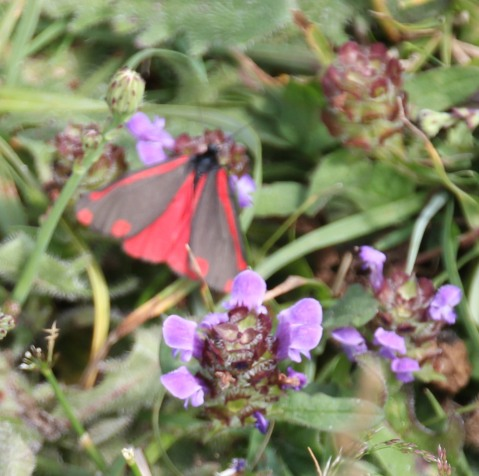 The Cinnabar moth (Tyria jacobaeae)