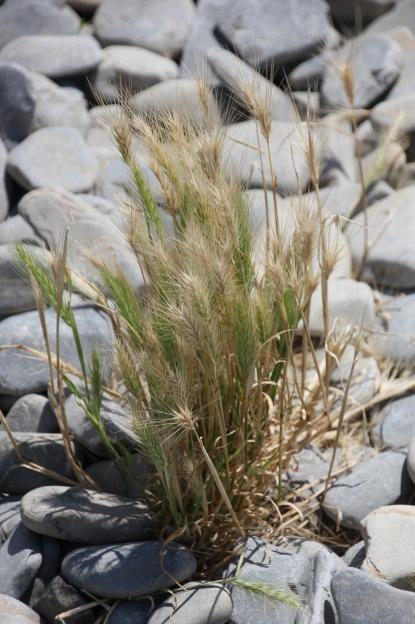 Wall Barley ( Hordeum murinum)