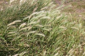 Wall Barley (Hordeum murinum )