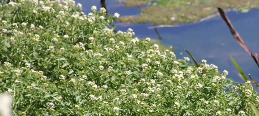 Water-cress in flower (Rorippa nasturtium-aquaticum)