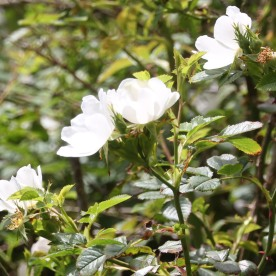Field rose( Rosa arvensis)