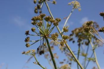 Wild Parsnip (Pastinaca sativa) seed heads