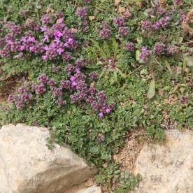 Wild Thyme (Thymus polytrichus )