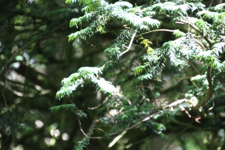 Yew (Taxus baccata)
